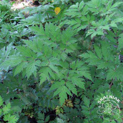 Świecznica (pluskwica) gałęziasta