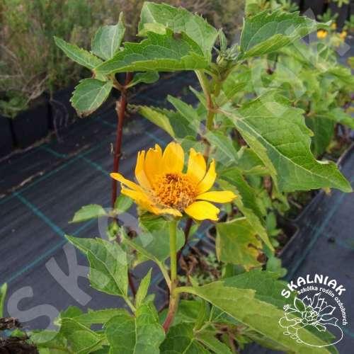 Słonecznik bulwiasty (Topinambur)