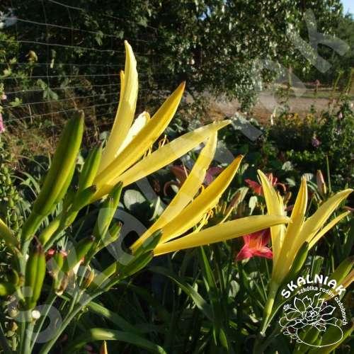 Liliowiec cytrynowy